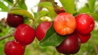Os Benefícios daacerolasão diversos, pois ela possui uma grande quantidade de nutrientes essenciais para saúde geral do corpo. Alem disso aacerolaé uma fonte muito rica […]