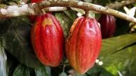 Ocacaué considerado um dos alimentos funcionais mais importantes. OCacauapareceu pela primeira vez na bacia amazônica, e crescer somente em climas úmidos, quentes e sombreadas. Os […]